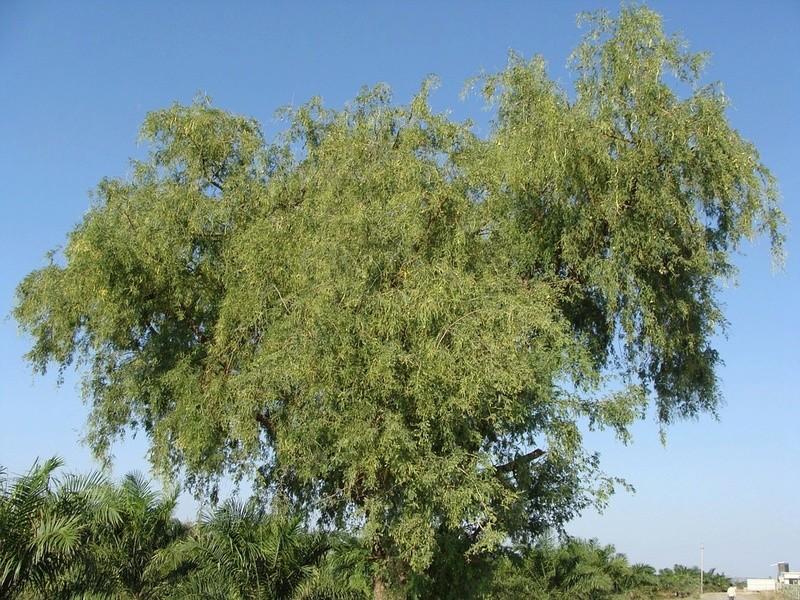 Acacia Aca1110