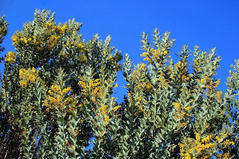 Acacia Aca1410