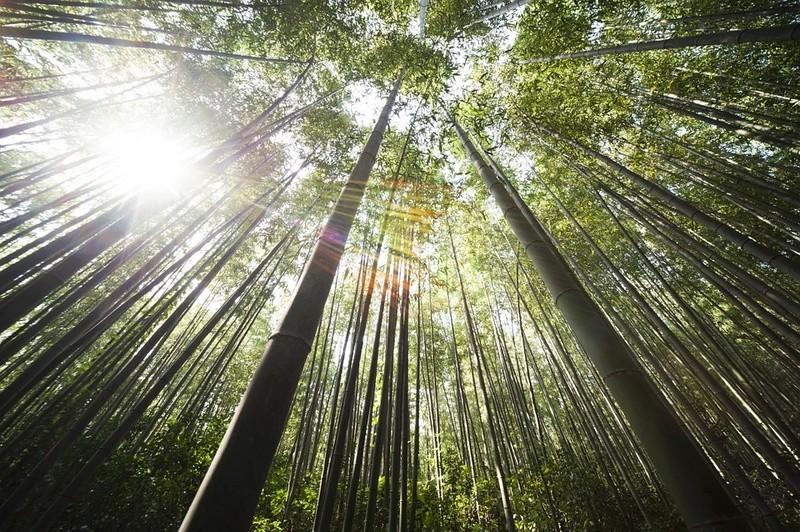 Bambou Bam110