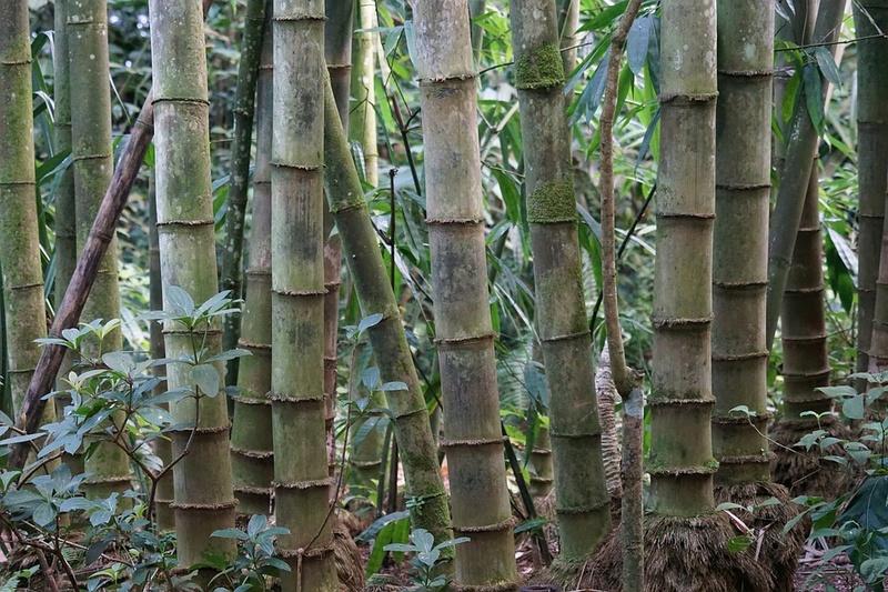Bambou Bam1210