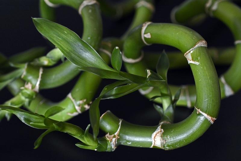 Bambou Bam1310