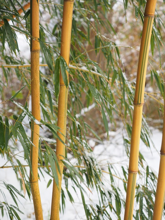 Bambou Bam1411
