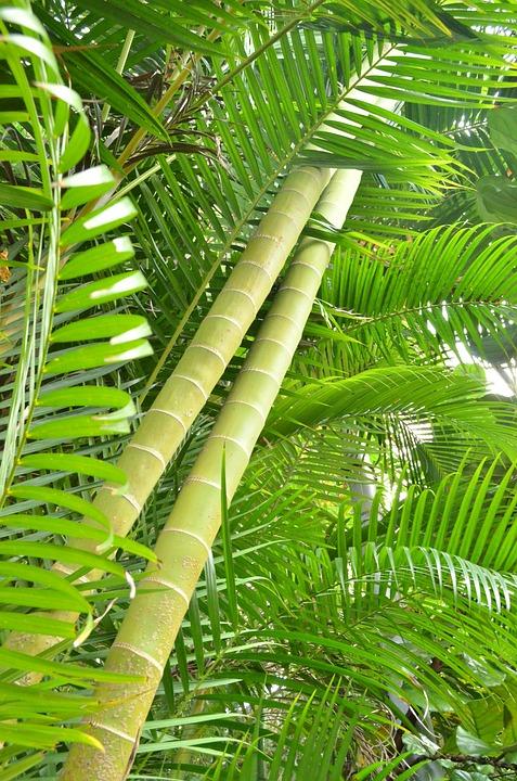 Bambou Bam1511