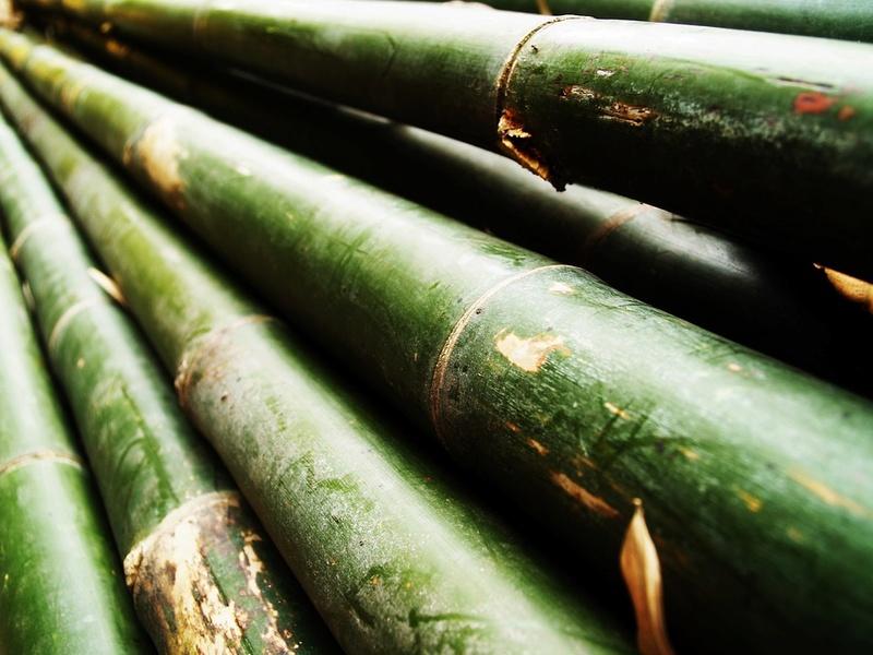 Bambou Bam1610