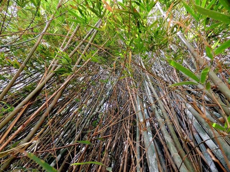 Bambou Bam1710