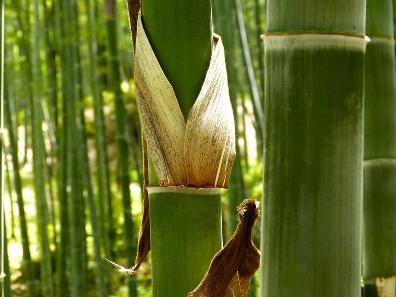 Bambou Bam1810