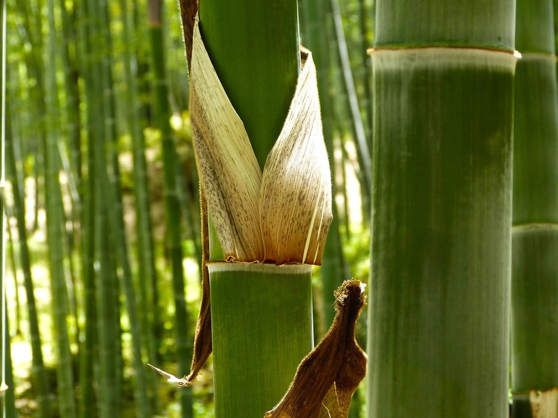 Bambou Bam1811