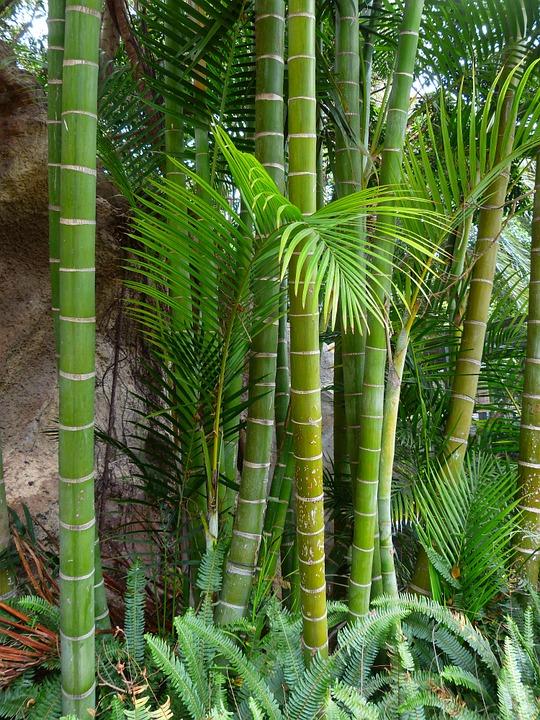 Bambou Bam1910