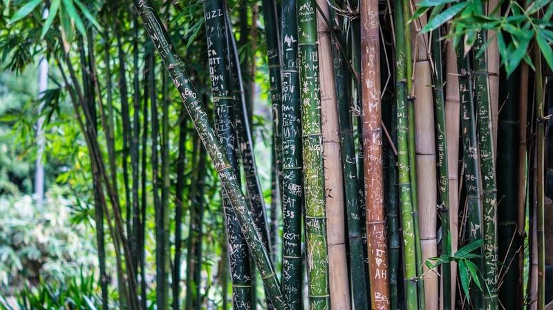 Bambou Bam210