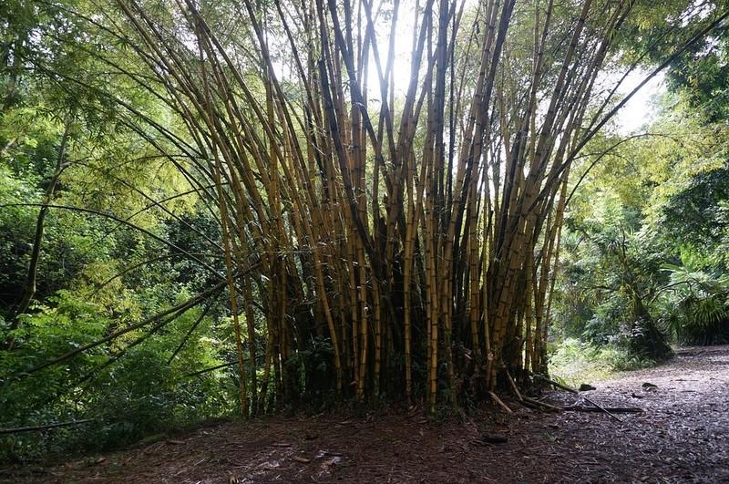 Bambou Bam2711