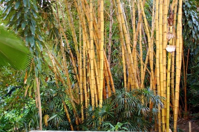 Bambou Bam2810
