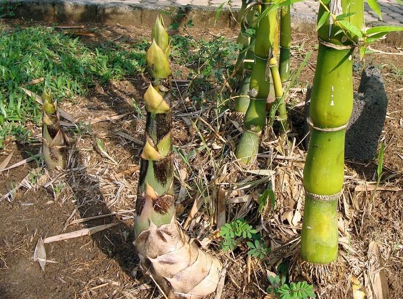 Bambou Bam2911