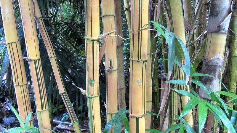 Bambou Bam510
