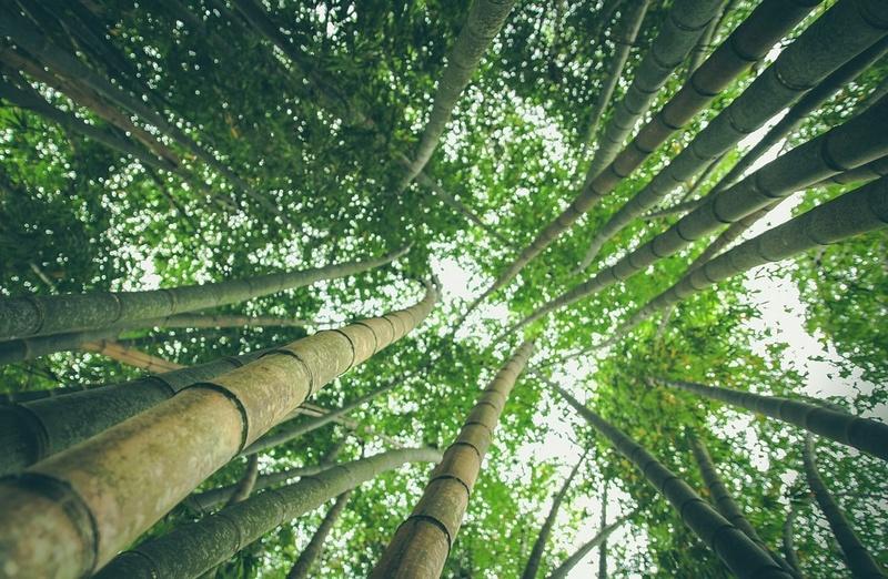 Bambou Bam610
