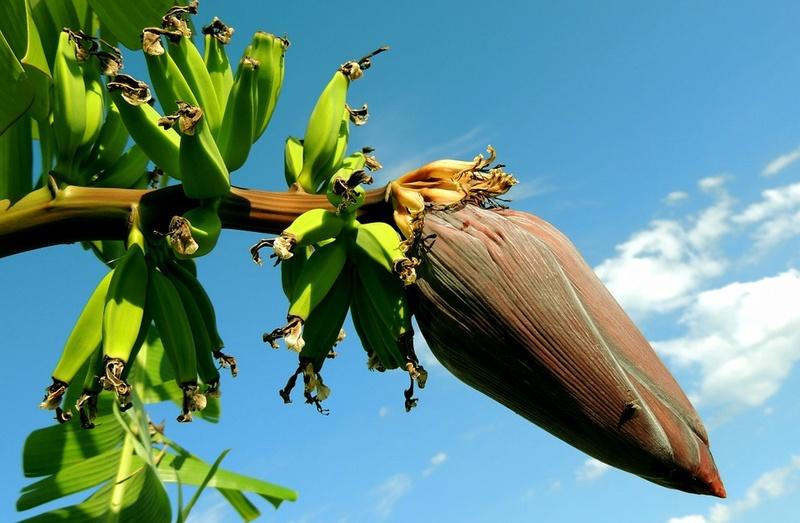Bananier Bana10
