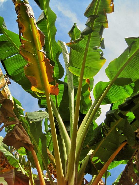 Bananier Bana1010