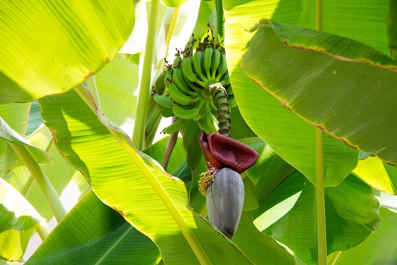 Bananier Bana110