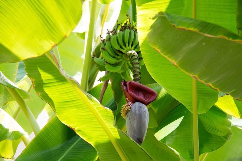Bananier Bana111
