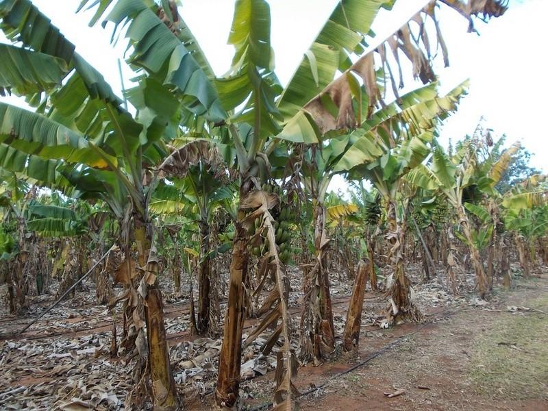 Bananier Bana1310