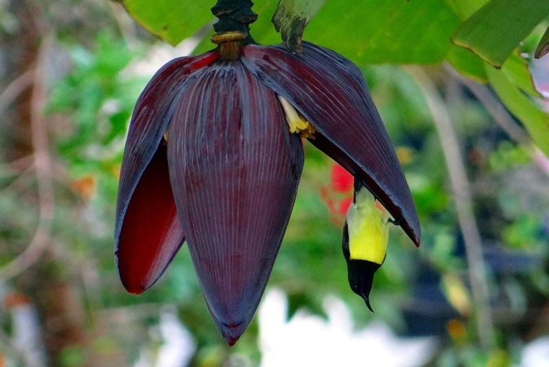 Bananier Bana1410
