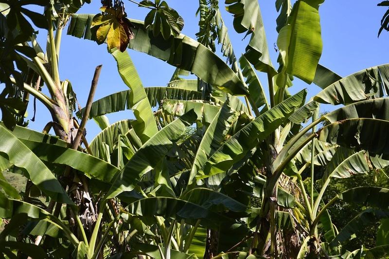 Bananier Bana311
