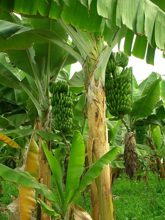 Bananier Bana610