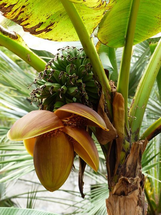 Bananier Bana810