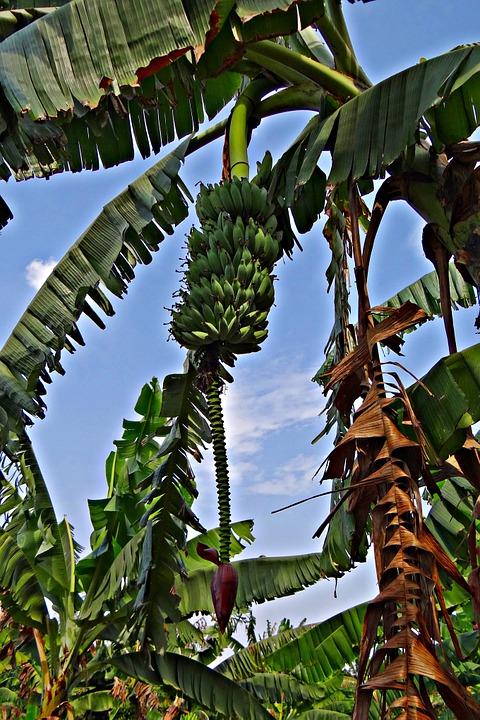 Bananier Bana910