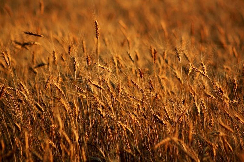 Le blé Bly0710