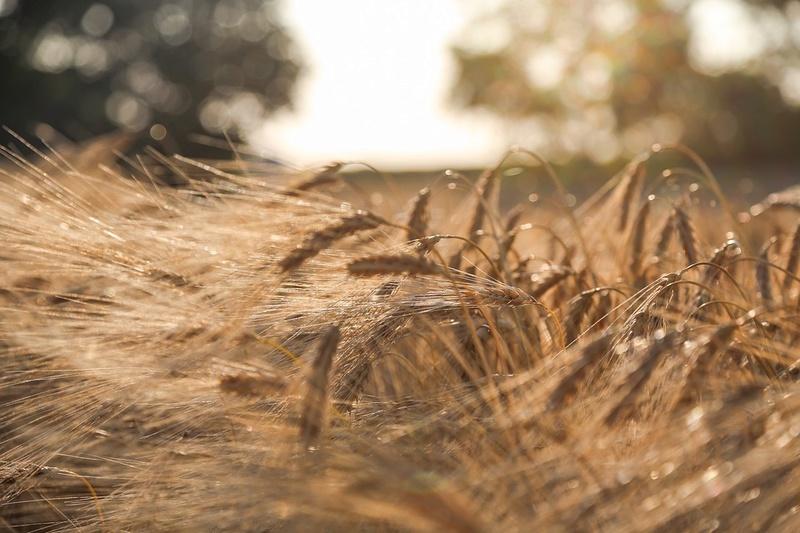 Le blé Bly0910