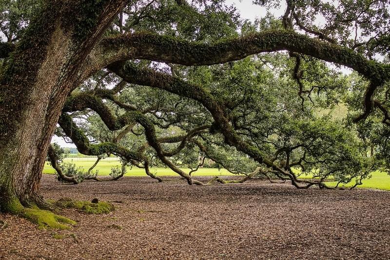 Le chêne et son fruit Che10