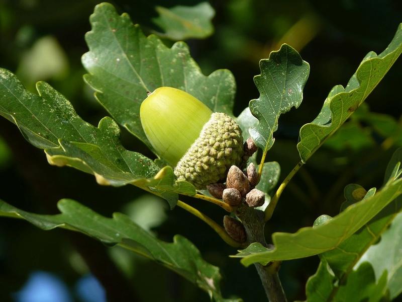 Le chêne et son fruit Che110