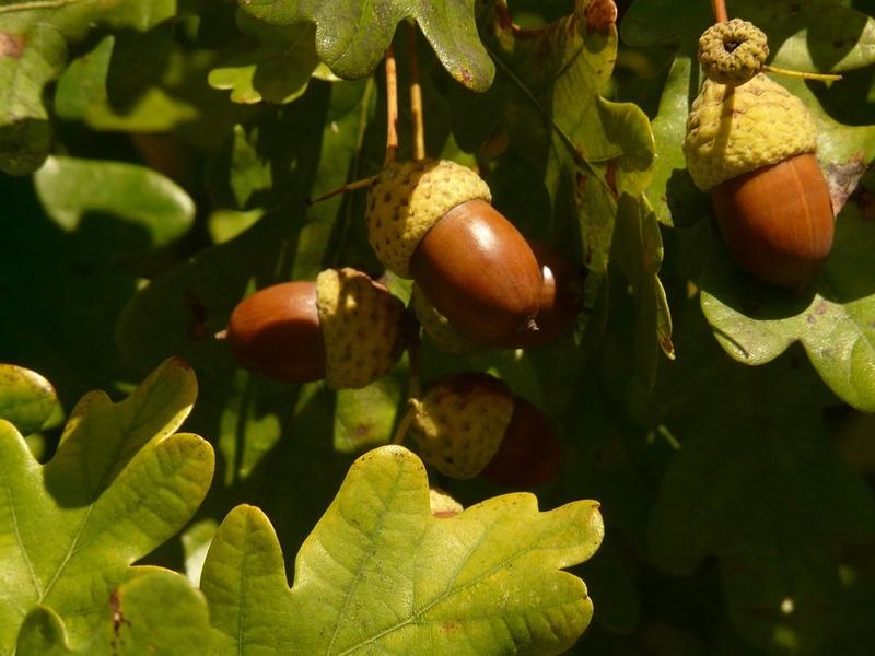 Le chêne et son fruit Che2010
