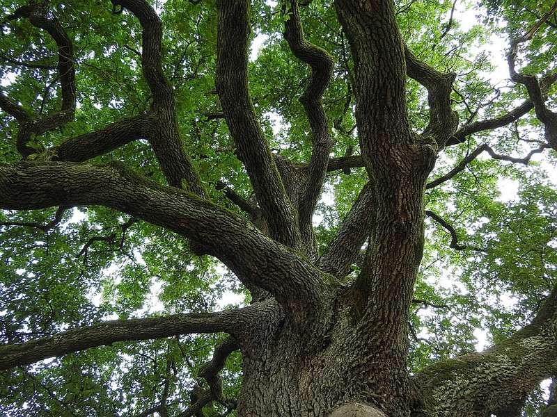 Le chêne et son fruit Che310