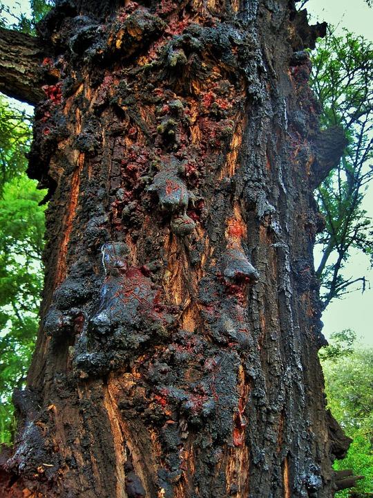 Le chêne et son fruit Che4310