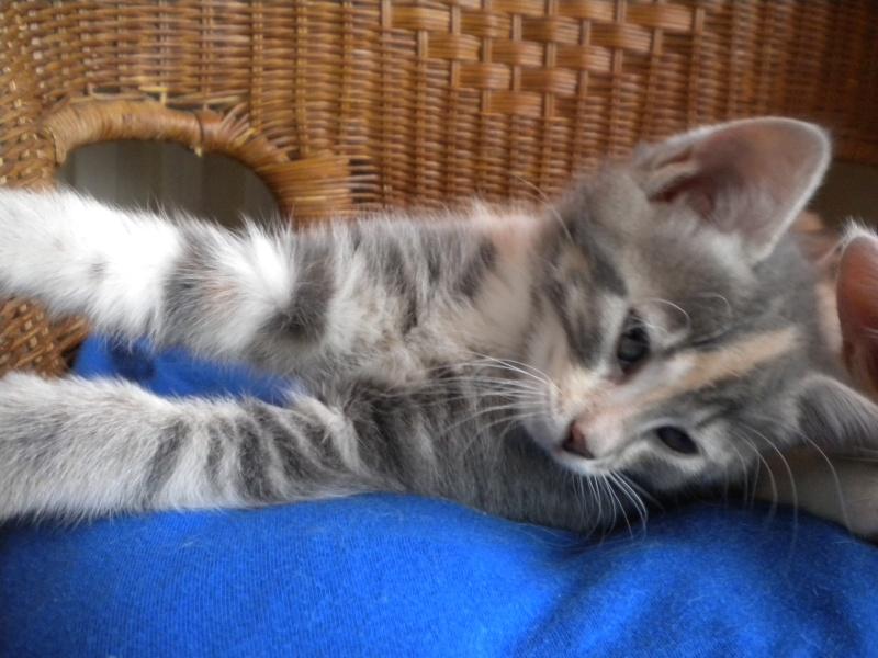 Inès, un amour de chatonne grise,  tachetée roux et blanc, née le 07/04/2013 ADOPTEE ! Dscn1717