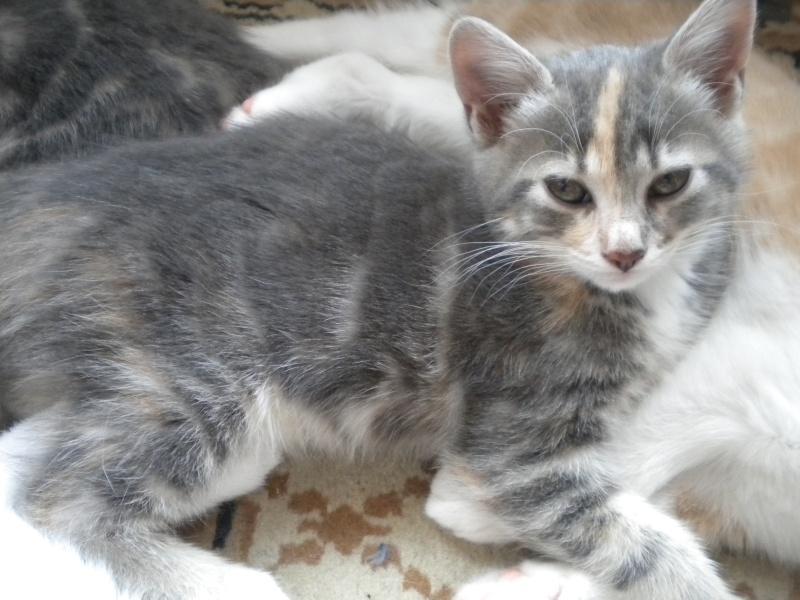 Inès, un amour de chatonne grise,  tachetée roux et blanc, née le 07/04/2013 ADOPTEE ! Dscn1718