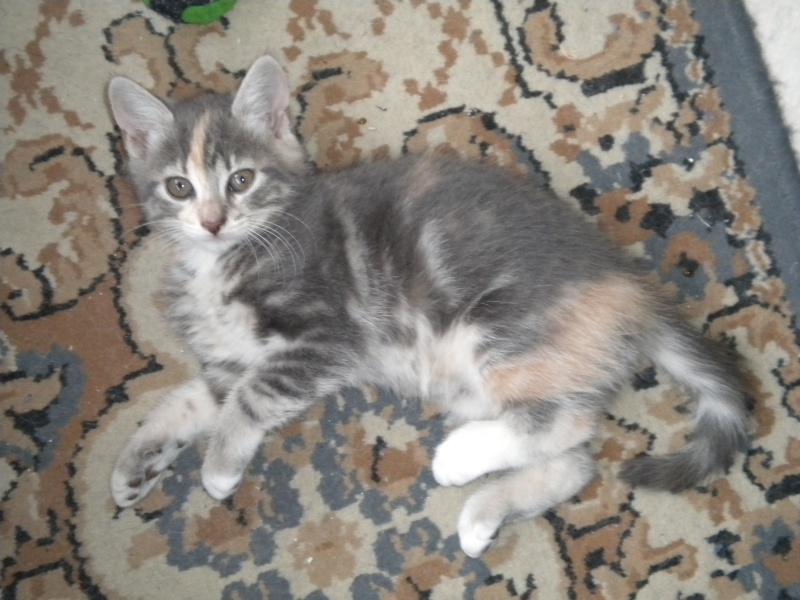Inès, un amour de chatonne grise,  tachetée roux et blanc, née le 07/04/2013 ADOPTEE ! Dscn1719