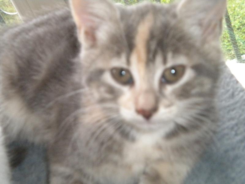Inès, un amour de chatonne grise,  tachetée roux et blanc, née le 07/04/2013 ADOPTEE ! Dscn1812