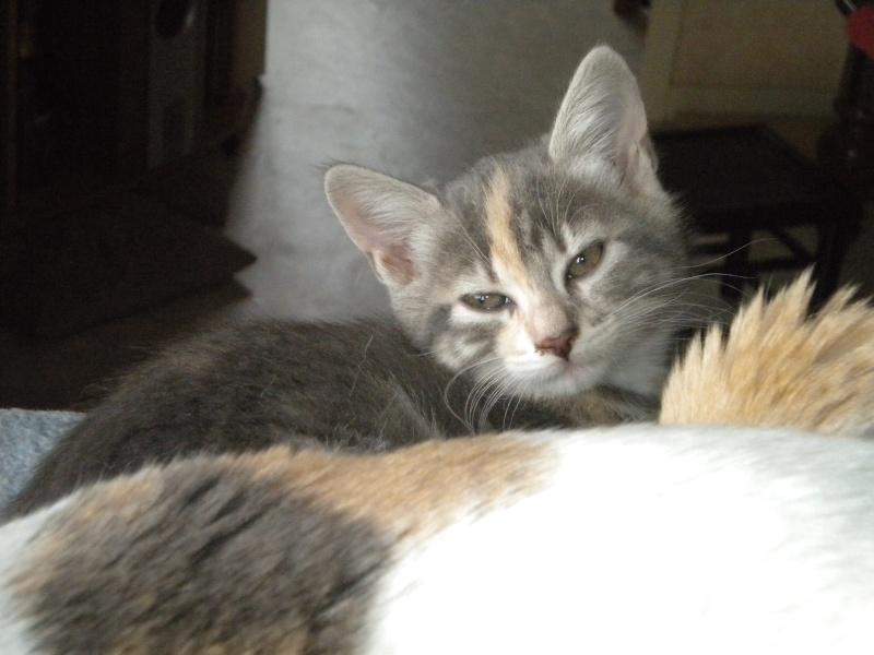 Inès, un amour de chatonne grise,  tachetée roux et blanc, née le 07/04/2013 ADOPTEE ! Dscn1813