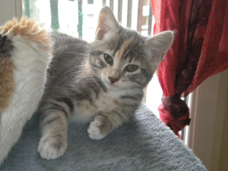 Inès, un amour de chatonne grise,  tachetée roux et blanc, née le 07/04/2013 ADOPTEE ! Dscn1814