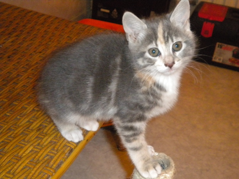 Inès, un amour de chatonne grise,  tachetée roux et blanc, née le 07/04/2013 ADOPTEE ! Dscn1815