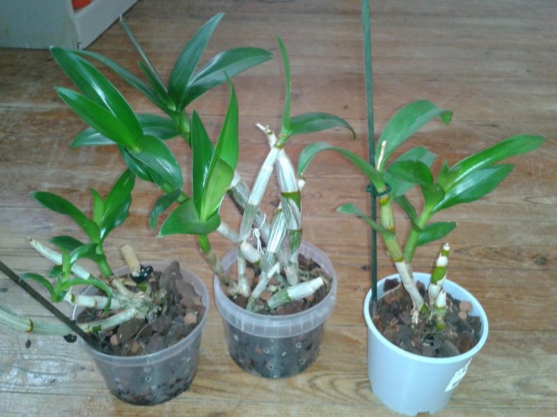 Dendrobium phalaenopsis : Help-Désespérée moi aussi! 2016-141
