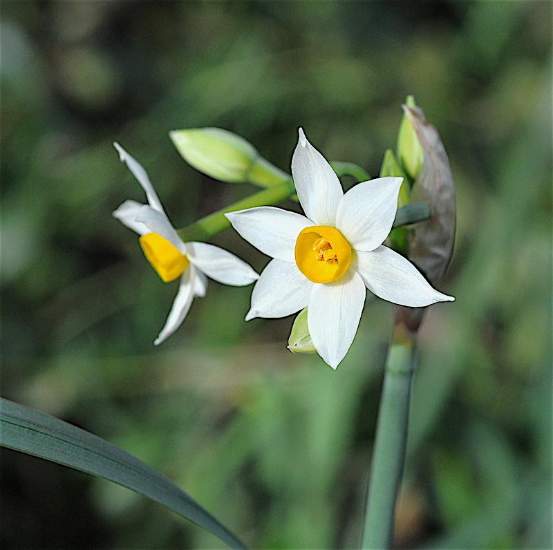 les voeux de mon jardin Narcis11