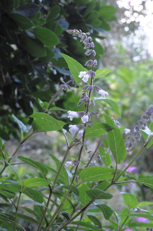 le jardin s'endort ... quoique Salvia12