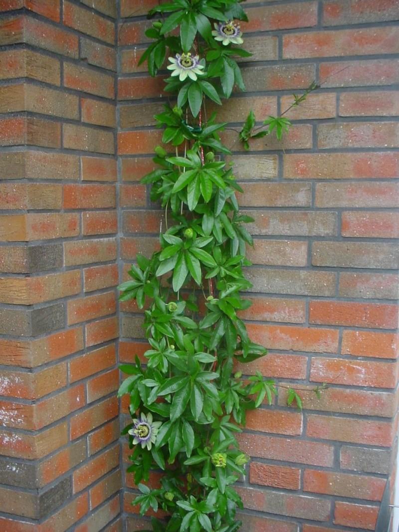"""Passiflora - Passionsblume - kleine """"Juwelen"""" - alles über Aussaat, Pflege, Vermehrung und natürlich Blütenbilder :) - Seite 3 Dsc00336"""
