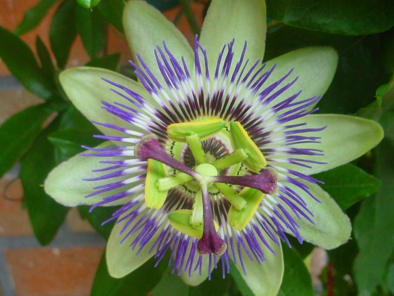 """Passiflora - Passionsblume - kleine """"Juwelen"""" - alles über Aussaat, Pflege, Vermehrung und natürlich Blütenbilder :) - Seite 3 Dsc00337"""