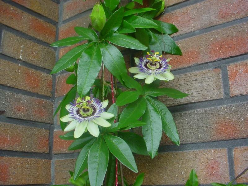 """Passiflora - Passionsblume - kleine """"Juwelen"""" - alles über Aussaat, Pflege, Vermehrung und natürlich Blütenbilder :) - Seite 3 Dsc00338"""