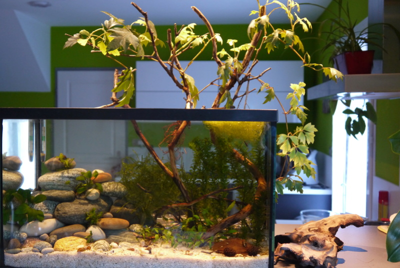 Aquarium ouvert low-tech 40 litres P1110713