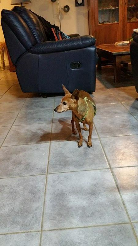 ELEA, gentille pinscher fauve de 7 ans, réformée d'élevage Dycouv10